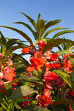 Rose Balsam flower Royalty Free Stock Image