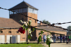 Rose on barbed wire in Auschwitz Royalty Free Stock Image