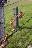 A rose on a barbed wire fence in Auschwitz Stock Images