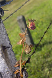 A rose on a barbed wire fence in Auschwitz Royalty Free Stock Image