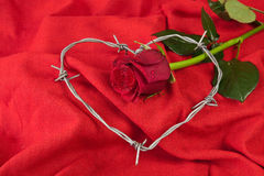Rose and barbed wire Stock Photography