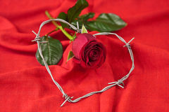 Rose and barbed wire Stock Images