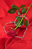 Rose and barbed wire Stock Photo