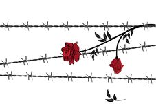 Rose with barbed wire Royalty Free Stock Image