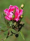 Rose bastante rosada en la floración foto de archivo libre de regalías