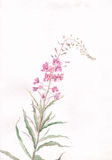 Rose-bay flower watercolor painting stock illustration