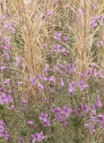 Rose Bay Willowherb in England Royalty Free Stock Photo
