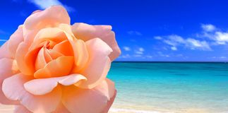 Rose beach Stock Images