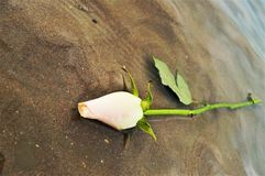 Rose on the beach, symbol Stock Images