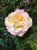 Rose. A beautiful rose Royalty Free Stock Photo