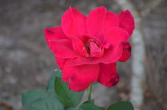 Rose. Beautiful and cute flowers in garden stock images