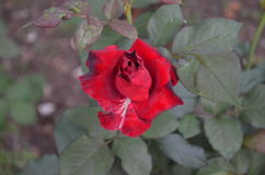 Rose. Beautiful and cute flowers in garden royalty free stock photos