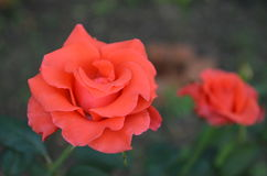 Rose. Beautiful and cute flowers in garden stock photography