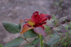 Rose. Beautiful and cute flowers in garden stock image