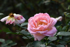 Rose: Royalty Free Stock Photography