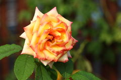 Rose: Royalty Free Stock Photo