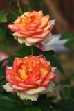 Rose: Stock Photo