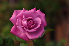 Rose: Royalty Free Stock Images