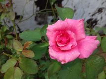 Rose. Beautiful flower in garden outdoor Royalty Free Stock Photo