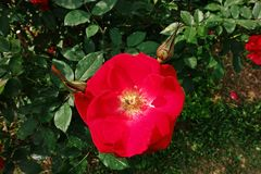 Rose, a beautiful flower, house flower and garden decoration. Flower of love Stock Photography