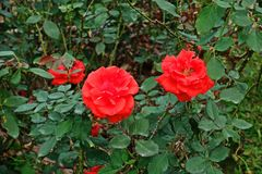 Rose, a beautiful flower, house flower and garden decoration. Flower of love Royalty Free Stock Photography