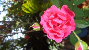 `rose`beautiful flower in sri lanka. This flower grow home gardenc royalty free stock photos