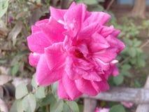 Rose. Beautiful fresh flower royalty free stock images