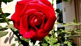 Rose. Beautiful garden rose in full bloom Royalty Free Stock Photos