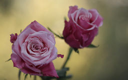 Rose. Beautiful  ,gorgeous and perfect rose for gifting someone Stock Photos