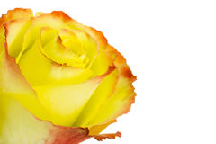 Rose Royalty Free Stock Images