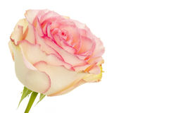 Rose Stock Photography