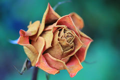 A rose is always beautiful. A rose, an old rose with an blue green background. The queen of flowers royalty free stock photos