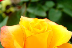 Rose. Beautiful portrait of Rose is of the genus Rosa, in the family Rosaceae. The flowers have petals is divided into two distinct lobes and is usually white or stock photography