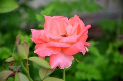 Rose Beautiful Pure Velentine rosa Immagini Stock