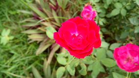 Rose. Beautiful Red rose Royalty Free Stock Photo