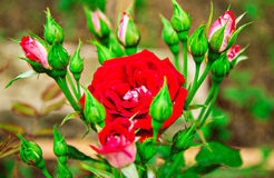 Rose. Beautiful red rose with buds royalty free stock photo