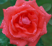 Rose. Beautiful rose, strewn with dew royalty free stock images