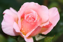 Rose. It is beautiful to see the morning dew drops talling on flower Royalty Free Stock Images