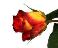 Rose. Beautiful rose on white background royalty free stock photo