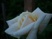 Rose. Beautiful white rose tea. Now this beauty settled in my garden Stock Photo