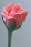 Rose Beauty Fotografering för Bildbyråer