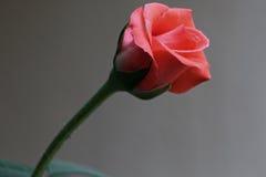 Rose Beauty Arkivfoton