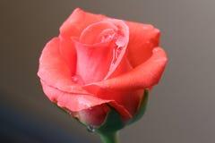 Rose Beauty Royaltyfria Bilder