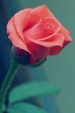 Rose Beauty Arkivfoto