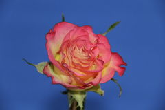 Rose. Beauty celebration gift pink blue garden flower petals bud Royalty Free Stock Image