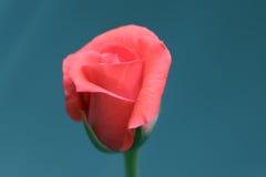 Rose Beauty Stock Photography