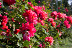 Rose bed Royalty Free Stock Photo