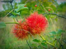Rose bedeguar gall on briar. stock images
