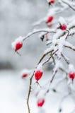 Rose, Beere, frisch, eingefroren, gesund, Frost, natürlich Stockbilder
