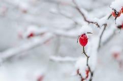 Rose, Beere, frisch, eingefroren, gesund, Frost, natürlich Stockfoto